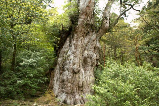 縄文杉 大木
