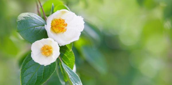 沙羅双樹の花の色 盛者必衰の理を表す