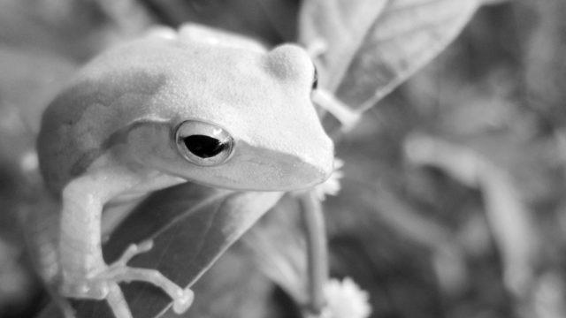 白いカエル