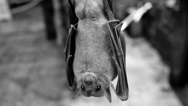 蝙蝠 コウモリ