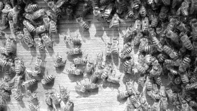 ミツバチ 群れ