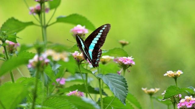 アオスジアゲハとランタナ 青い蝶