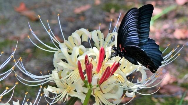 彼岸花にとまる黒アゲハ蝶