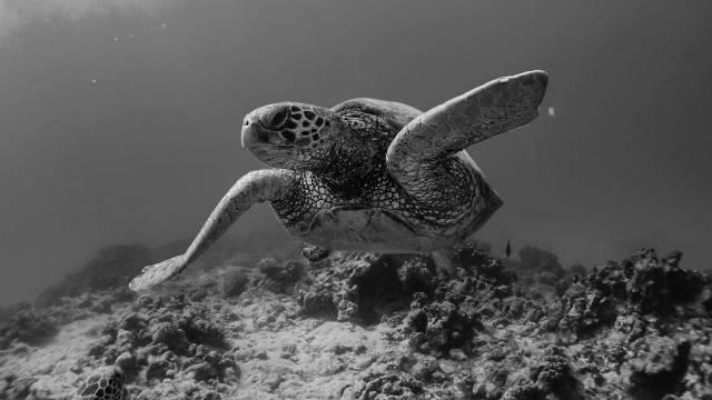 ウミガメ2 亀 カメ