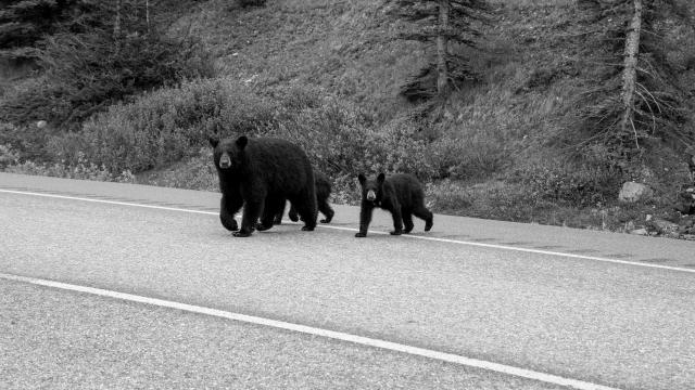 道を渡る熊の親子