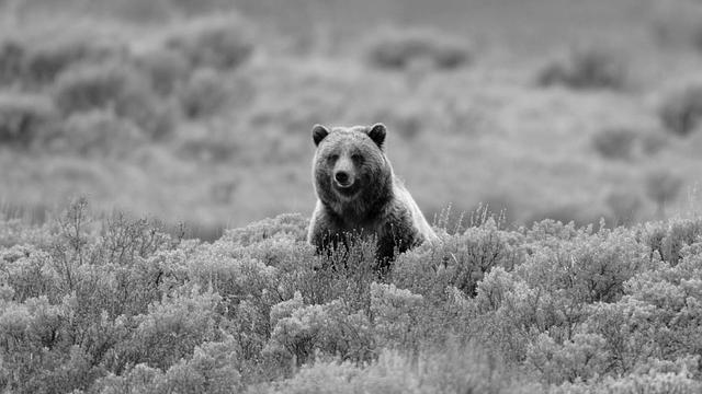 遠くから見ている熊 自然