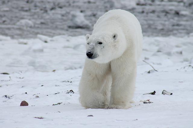 しろくま 白い熊