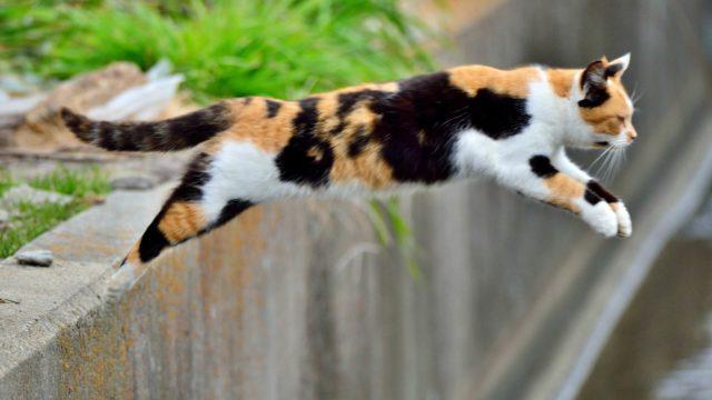ジャンプする三毛猫
