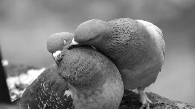 鳩のつがい2