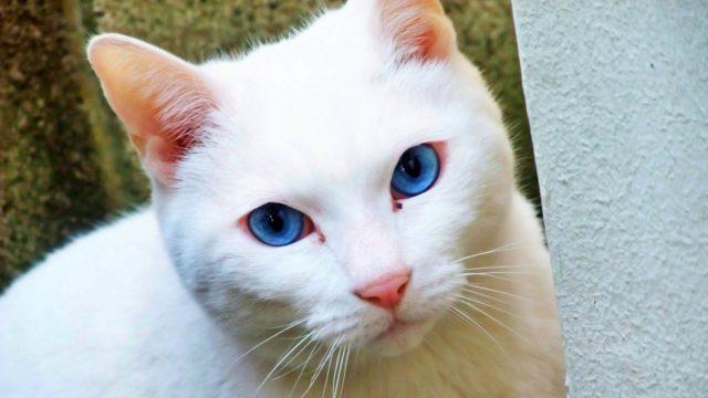 白猫と目が合う