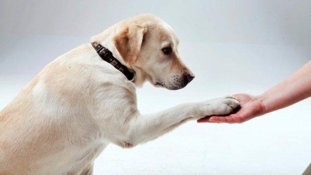 犬 ラブラドールレトリバー お手 忠誠