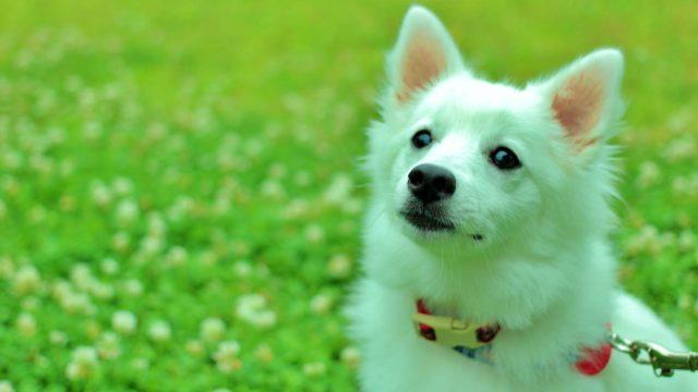 白い犬 スピッツ